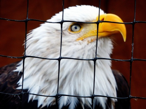 Bald eagle, raptor center, Ketchikan