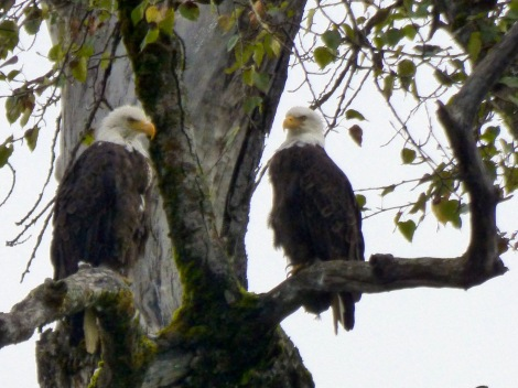 Bald Eagles, wilderness river adventure, Haines